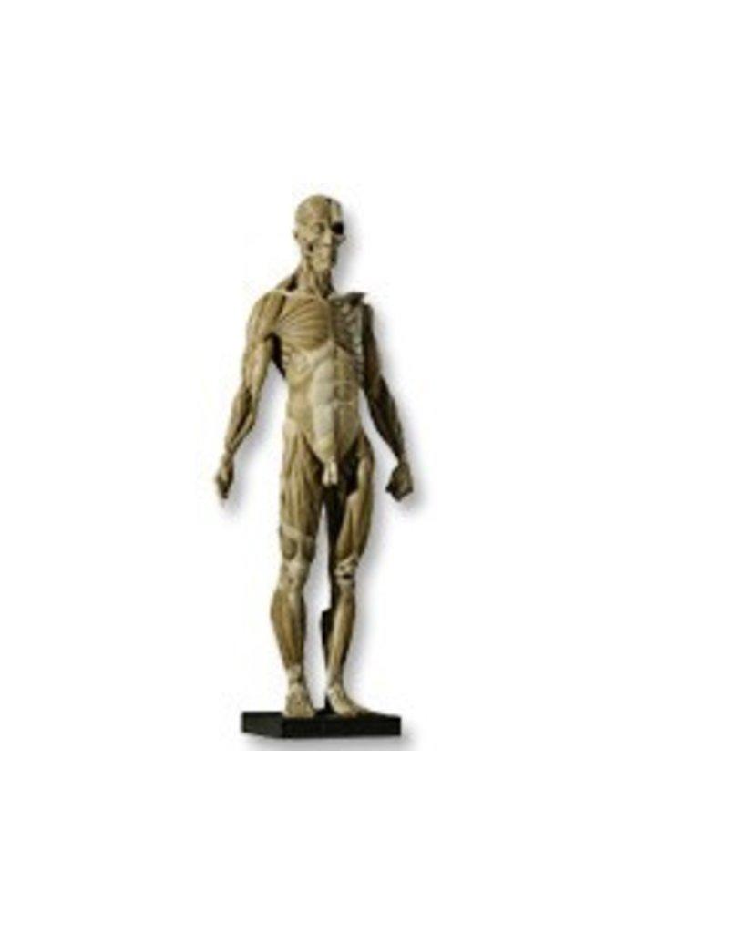 Anatomy tools Anatomy Tools Male V1 1:3 Scale Figure