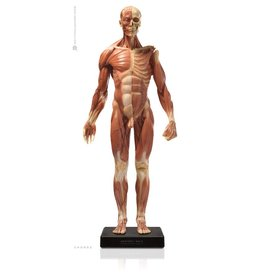 Anatomy tools Anatomy Tools Male V3 1:3 Scale Figure