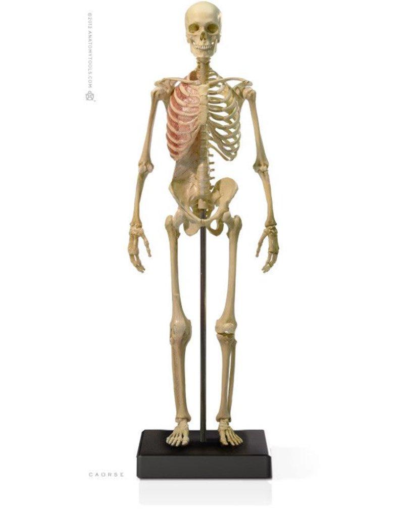 Anatomy tools Anatomy Tools Male Skeleton V3 1:6 Scale Figure