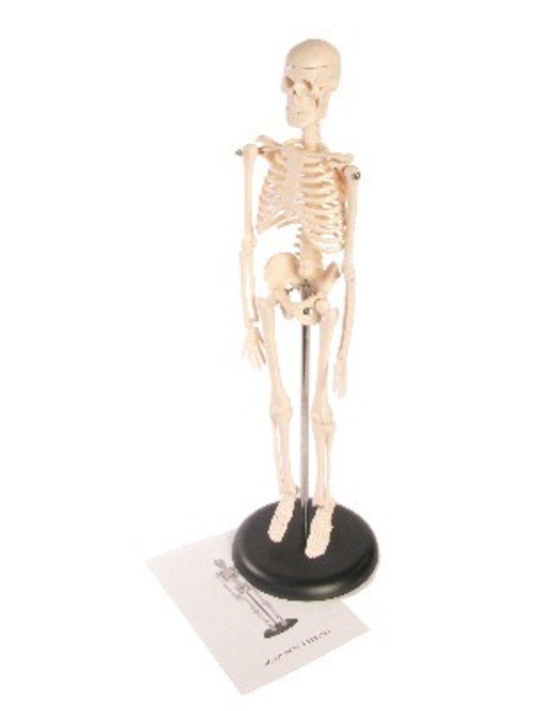 "Human Skeleton ~17"" (42cm) Plastic"