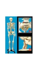 Human Skeleton Life-size Plastic 66in