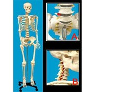 Human Skeleton Life-size Plastic 66in