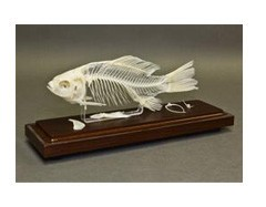 Real Fish Skeleton