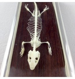 Real Lizard Skeleton