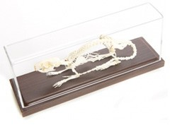 Real Rat Skeleton