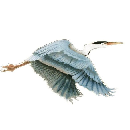 Flying Blue Heron