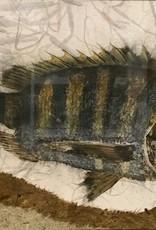 Ken Dara Sheepshead (Gyotaku Original, 20x13, Mat, Frame, Signed)