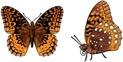 Rare Earth Gallery Earrings, Butterfly, Fritillary