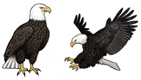 Rare Earth Gallery Earrings, Bald Eagle