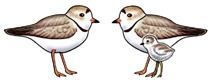 Rare Earth Gallery Earrings, Piping Plover