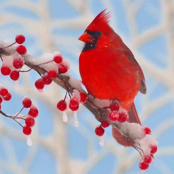 rare earth gallery winter cardinal teaser 50 pieces artisanal