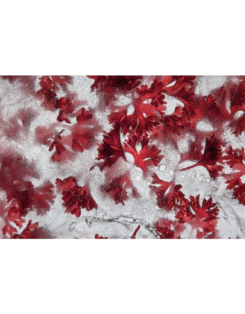 """Heather Monks """"Coriandrum sativum - Cilantro"""" by Heather Monks"""