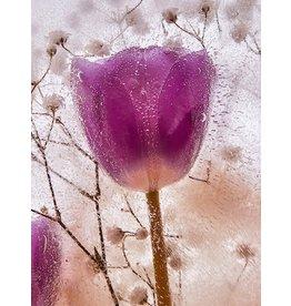 """Heather Monks """"Tulipa × gesneriana - Tulip"""" by Heather Monks"""