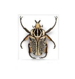 Pheromone 11x14 Ornate Goliath Beetle