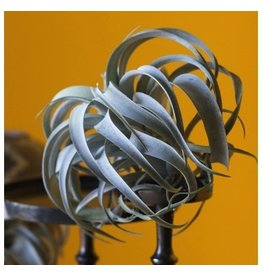 "Gold Leaf Design Group Xerographica Tillandsia - 11"" Grey"