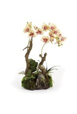 PHALAENOPSIS CLOCHE GARDEN DROP-IN 23""