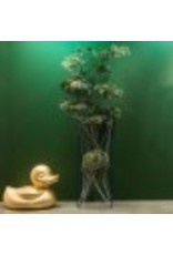 Podocarpus Tree Potted