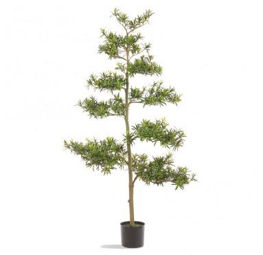 "Podocarpus 71""H Tree Potted"
