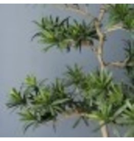 "Podocarpus 38""H Tree Potted"