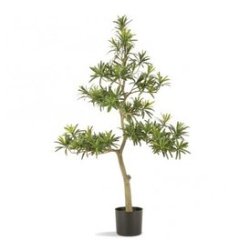 "Podocarpus 38""H Tree Potted"