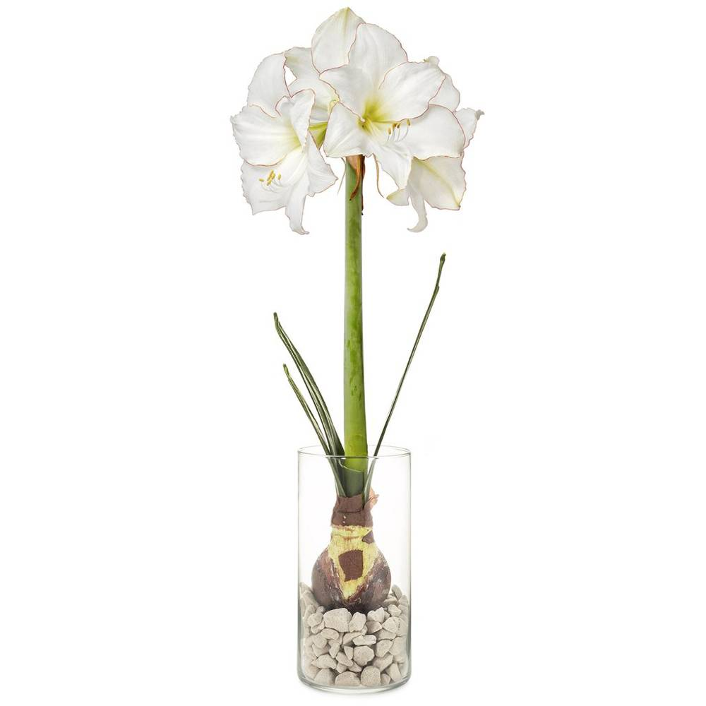 modern sprout modern sprout bulb kit amaryllis
