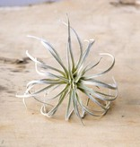 chive chive air plant