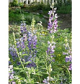 TPF Lupinus albifrons - Silver Bush Lupine (Seed)