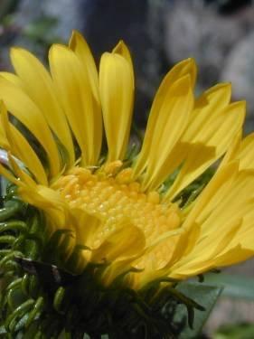 TPF Grindelia stricta var. platyphylla - Coastal Gumplant (Seed)