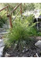 TPF Festuca californica - California Fescue (Seed)