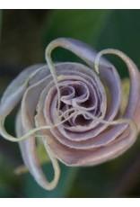 TPF Datura wrightii - Jimsonweed (Seed)
