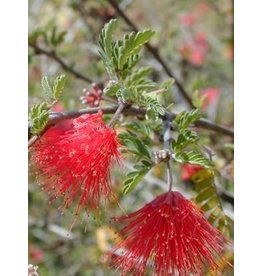 TPF Calliandra californica - Red Fairyduster (Seed)