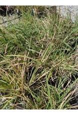 TPF Bouteloua curtipendula - Side Oats Grama (Seed)