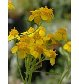 Eriophyllum confertiflorum - Golden Yarrow (Seed)