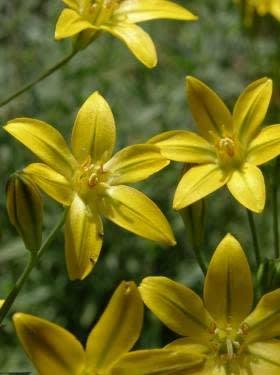 Bloomeria crocea - Golden Star (Seed)