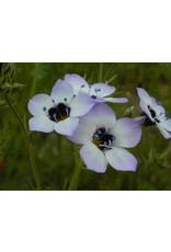 Gilia tricolor - Bird's Eye Gilia (Seed)