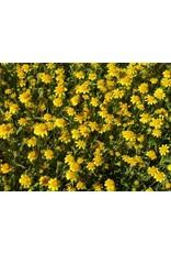 Lasthenia californica - Goldfields (Seed)