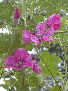 Malva assurgentiflora - Island Tree Mallow (Seed)