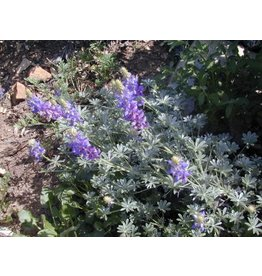 Lupinus excubitus - Grape Soda Lupine (Seed)