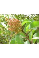 Malosma laurina -Laurel Sumac (Seed)