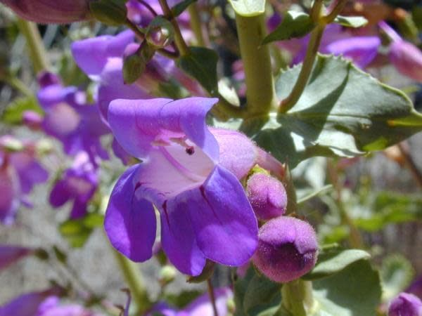 Penstemon spectabilis - Showy Penstemon (Seed)