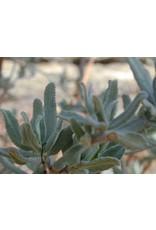 Salvia clevelandii - Cleveland Sage (Seed)