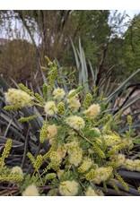 Senegalia greggii - Catclaw Acacia (Seed)