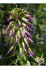 Boechera pulchra -Prince's Rock-Cress (Seed)