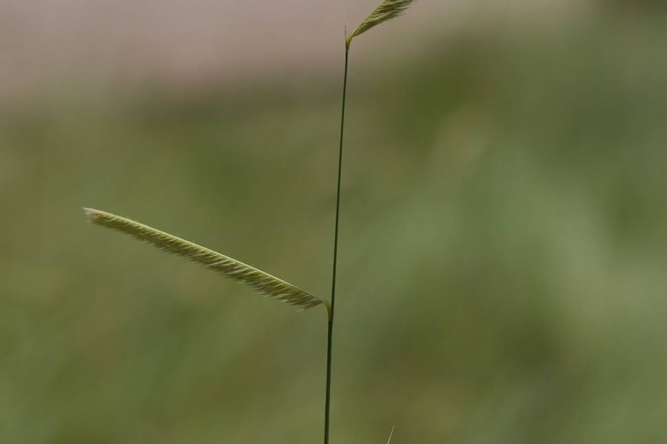 TPF Bouteloua gracilis - Blue Grama Grass (Seed)