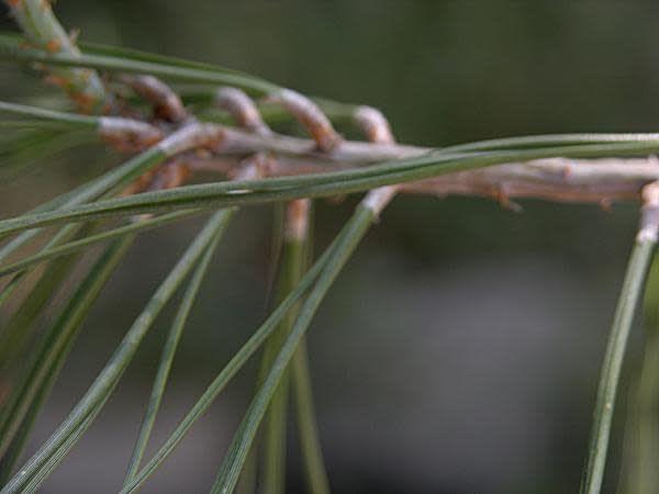 TPF Pinus sabiniana - Foothill Pine (Seed)