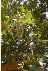 TPF Platanus racemosa - Western Sycamore (Seed)