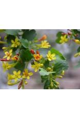 TPF Ribes aureum var. gracillimum - Golden Currant (Seed)