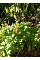 TPF Aquilegia formosa - Scarlet Columbine (Seed)