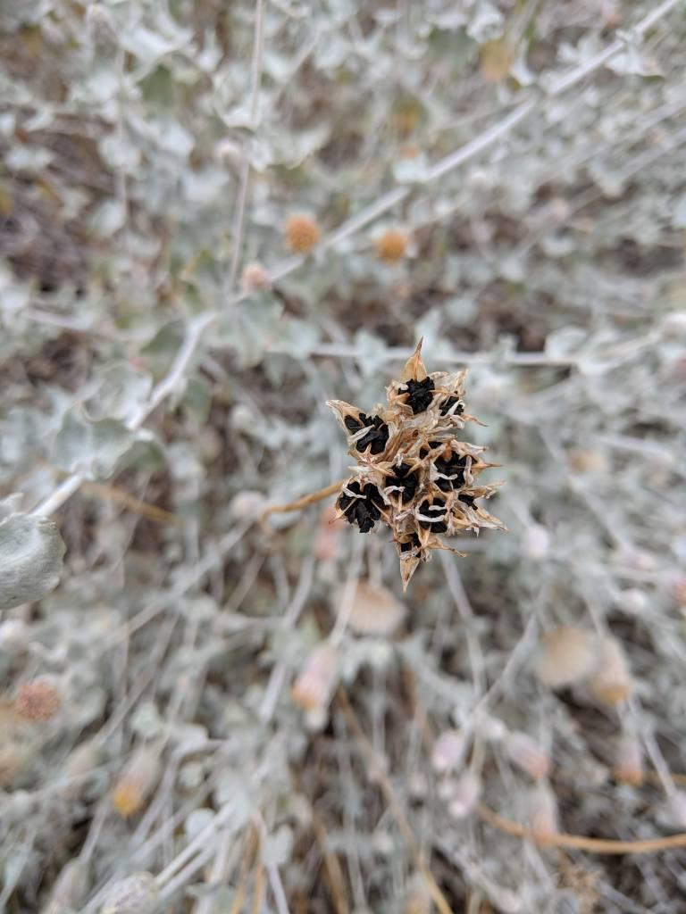 Dichelostemma capitatum - Blue Dicks or Wild Hyacinth (Seed)