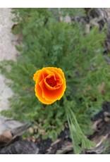 TPF Eschscholzia californica - California Poppy (Seed)